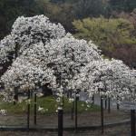 大原野神社 千眼桜 4月