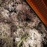 平安神宮 紅しだれコンサート 4月10日
