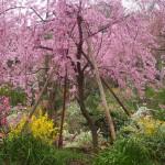 原谷苑 4月10日
