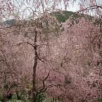 原谷苑 4月11日
