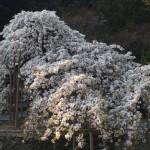 大原野神社 千眼桜 4月11日