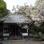 泉涌寺 楊貴妃桜 4月