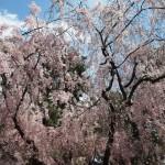 京都御苑 近衛邸跡 4月12日