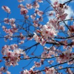 鞍馬寺 青空と桜