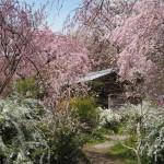 原谷苑 4月