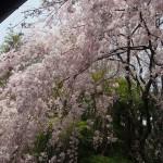 妙心寺 退蔵院 4月12日