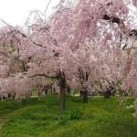 京都府立植物園 4月13日