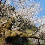 幡枝八幡宮 4月