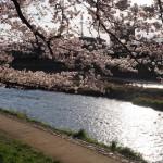 高野川沿い 4月13日