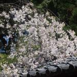 上御霊神社 4月14日