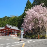 狸谷山不動院の桜