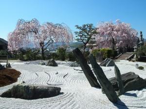 圓光寺の桜
