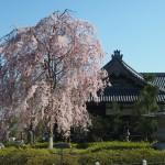 妙満寺 4月14日