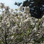 仁和寺 泣き桜 4月14日