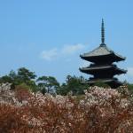 仁和寺 御室桜 4月15日