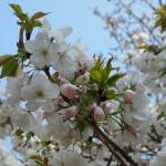 仁和寺 泣き桜 4月15日
