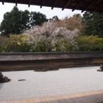 龍安寺 石庭の桜