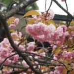 平野神社 4月16日