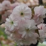 千本閻魔堂 普賢象桜