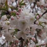 仁和寺 泣き桜 4月16日
