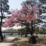 出町柳の八重桜