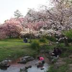 出水の小川と八重桜