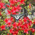 キリシマツツジとアゲハ蝶