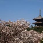 仁和寺 御室桜 4月18日