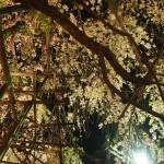 宝樹寺 ライトアップ 4月19日