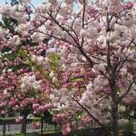 堀川沿いの八重桜