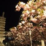 千本閻魔堂 普賢象桜の夕べ 4月19日