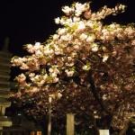 千本閻魔堂 普賢象桜の夕べ