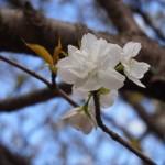仁和寺 泣き桜 4月19日