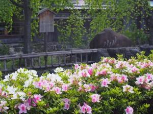 祇園白川のツツジ