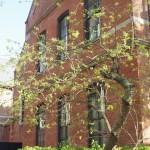 同志社大学 桑の木