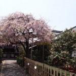 地蔵院 五色散り椿と紅枝垂れ桜