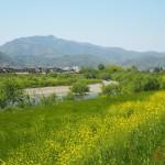 桂川沿い 4月