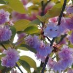 伏見稲荷 御旅所 八重桜