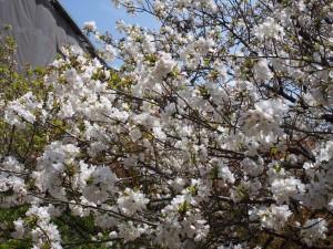 仁和寺の泣き桜