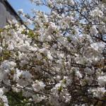 仁和寺 泣き桜 4月