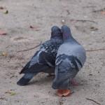 ラブラブの鳩