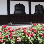 建仁寺の牡丹