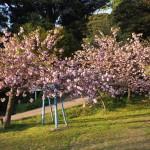 離湖の八重桜
