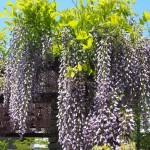 桜井公園の藤