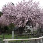 黒田百年桜 4月