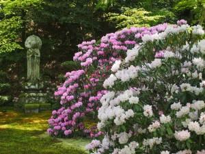 三千院の石楠花