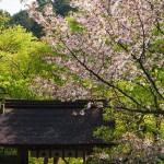 寂光院 汀の桜 4月