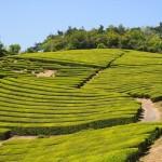 金胎寺へ向かう途中の茶畑