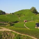 和束町 石寺の茶畑 5月