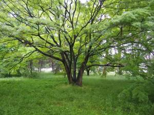 京都御苑 バッタが原